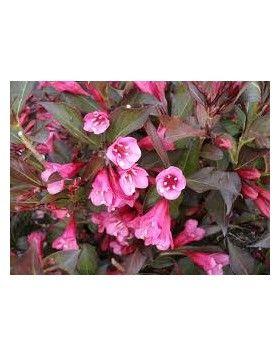 Weigela 'Alexandra' - Bordó levelű rózsalonc