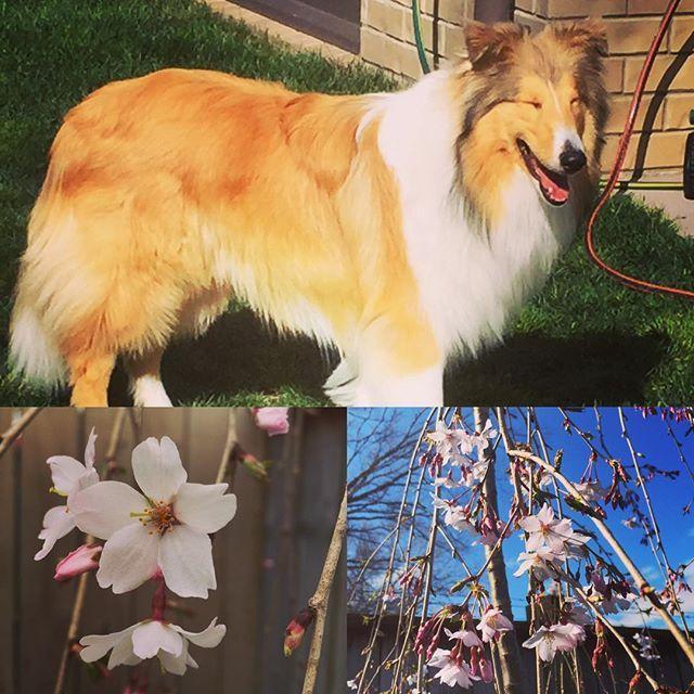 【mumchandesu】さんのInstagramをピンしています。 《#春が来た 🎶 #springiscoming  @ #newzealand  #南半球 #季節は反対 #桜 #しだれ桜  #ラフコリー #コリー  #パピー  #roughcollies  #collies  #puppy》