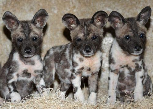 African wild dog pups | Ten (10!!!) African Wild Dog Puppies Born at Brookfield Zoo