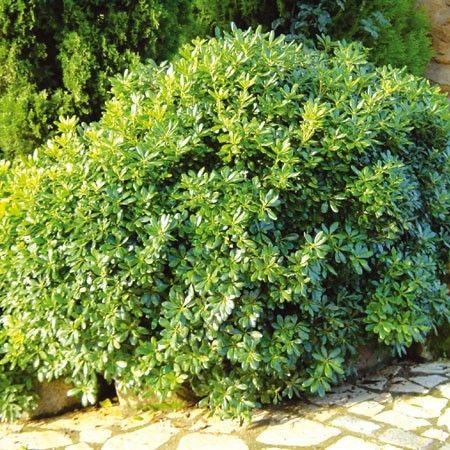 Pittosporum tobira nain parfum rustique 1 50x1 am for Plante exotique exterieur rustique