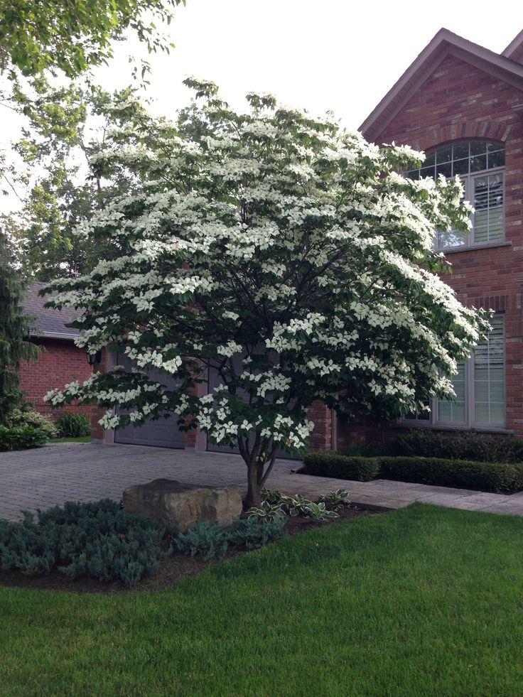 Beautiful Cornus Kousa At Peak Bloom.