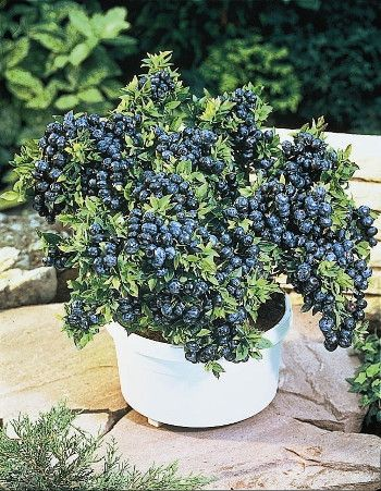 Top Hat is perfecton patios and decks, where it offers three-season interest.Gorgeous white bell flowers blanket plants in the spring, blue berries form during the summer and coppery fall foliagepersists until the snow falls.