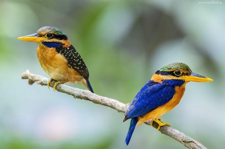 Kolorowe, Ptaki, Zimorodki