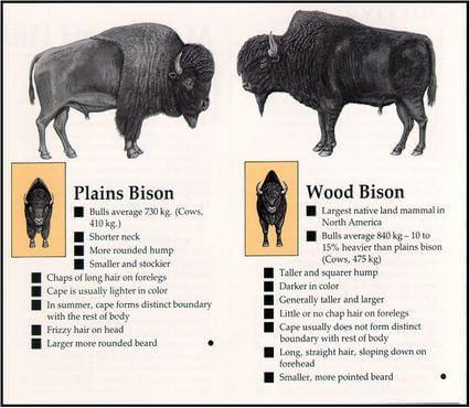 Wood Bison vs. Plains Bison