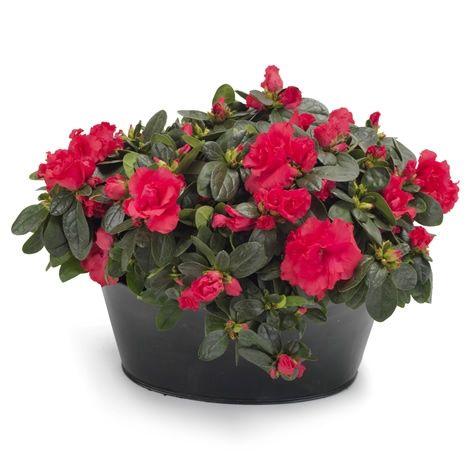 Røde azalea i gruppe - Forus - Maren's Blomster