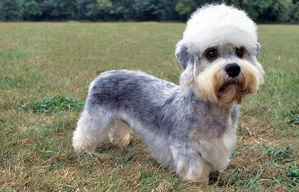 "Dandie Dinmont Terrier- Weight: 18 to 24 pounds Life Span: 12 to 14 years, takes his name from Dandie Dinmont in Sir Walter Scott's ""Guy Mannering.""dogs are dandies, with a poufy topknot, dark shoe-button eyes, and a self-confident attitude."