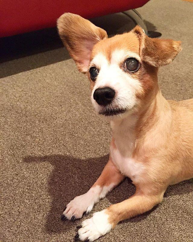 休日は甘えモード🐶 #愛犬 #ペロ #チワックス #ミックス犬 #犬のいる暮らし #mydog #mix #dog #compassion #blindness #fine #holiday #healing #love