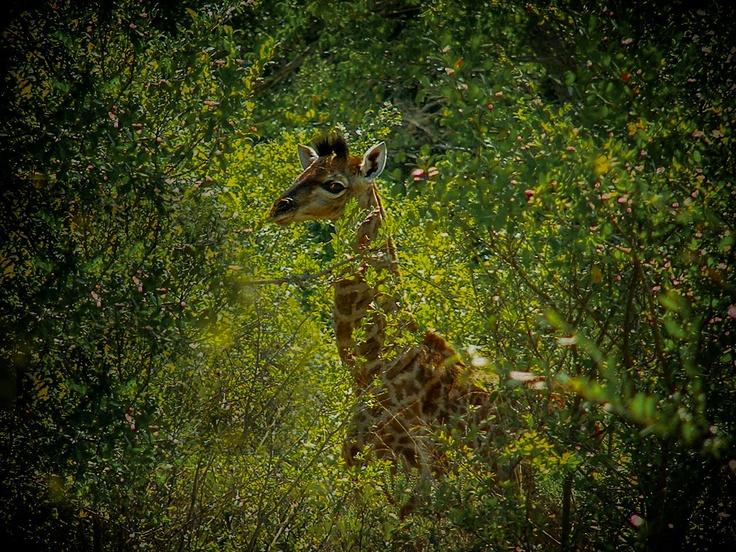 1 day old giraffe, still shaky on its feet