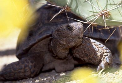 Care of a Captive 'Desert Tortoise.'  You may adopt a desert tortoise if you are a permanent resident of Arizona. This is an excellent and important info for you to read. They can live to be 100 years old. EM
