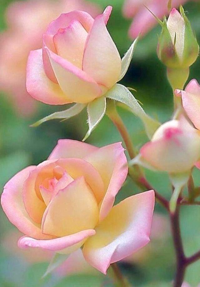 Bild Von Eladvi Entdeckt Entdecke Und Speichere Deine Eigenen Bilder Und Videos Auf We Heart It Rose Flower Pictures Beautiful Rose Flowers Amazing Flowers Fantastic beautiful flower wallpaper