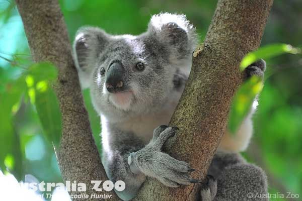 Two months later and Frodo the koala has overcome horrific injuries sustained by pellets lodged in her body to amaze staff at the hospital, including Dr Amber. Description from australiazoo.com.au. I searched for this on bing.com/images