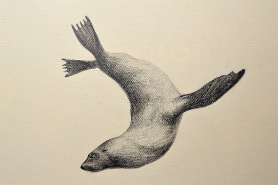 seal pencil drawing - Google Search