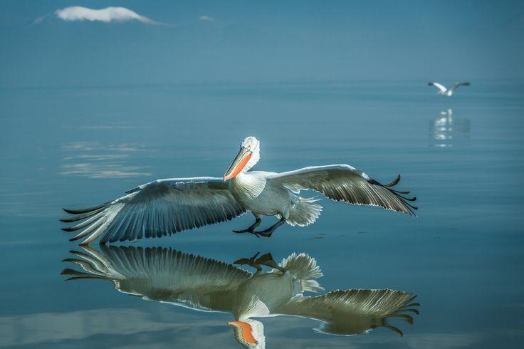 Macedonian #wildlife Pelican on #Lake Kerkini - Serres #Macedonia Greece - #photography #photo #exploremacedonia