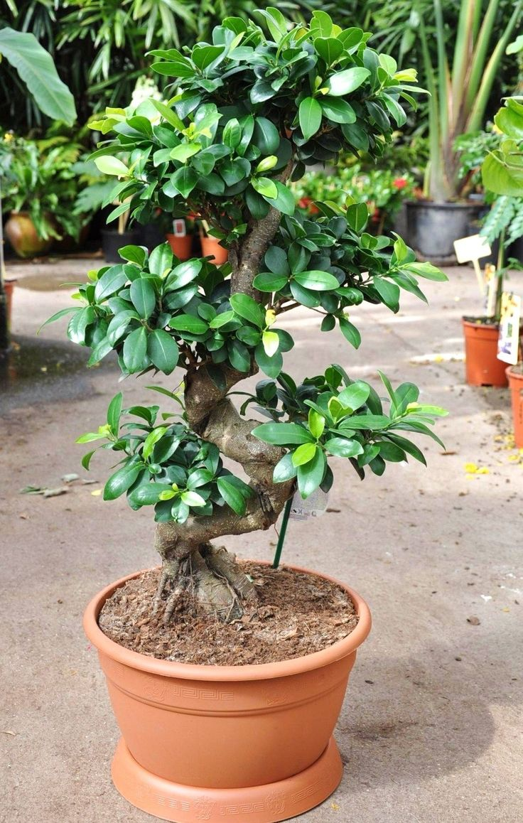 les 25 meilleures id es de la cat gorie ficus microcarpa sur pinterest bonsai ficus bonsa et. Black Bedroom Furniture Sets. Home Design Ideas