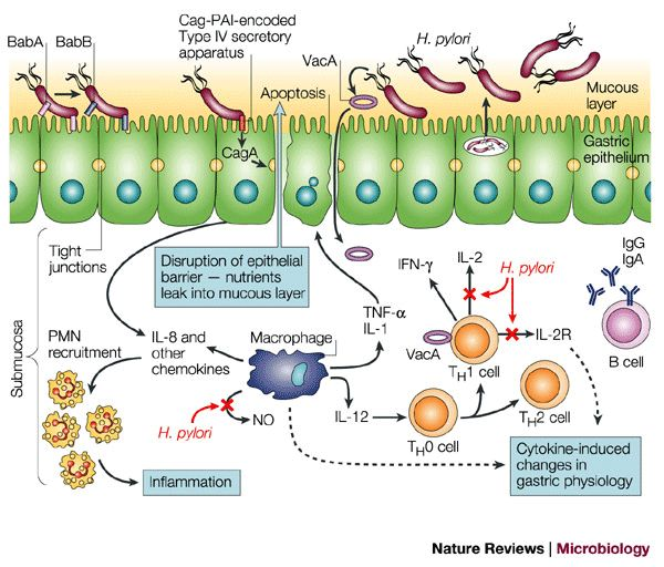 13 best images about medical on pinterest disorders medicine and pathways - Bacterie helicobacter pylori ...