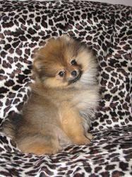 Pomeranian Breeders CA Heart to Heart Pomeranians http://hearttoheartpoms.com