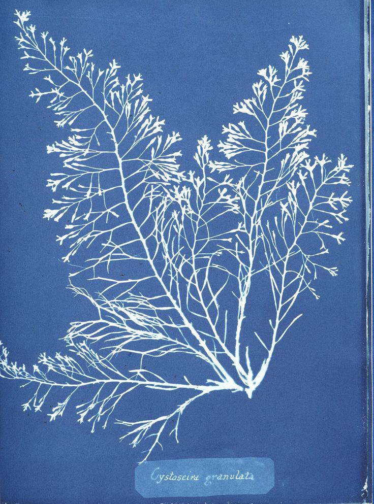 Anna Atkins photographs-of-british-algae-cyanotype impression