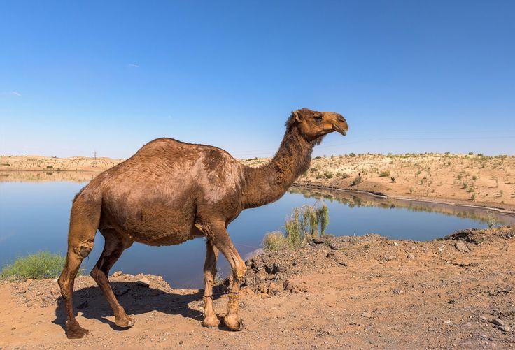 Camel in the Karakum Desert - null