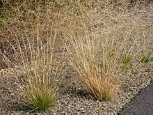 Agrostis scabra (C)