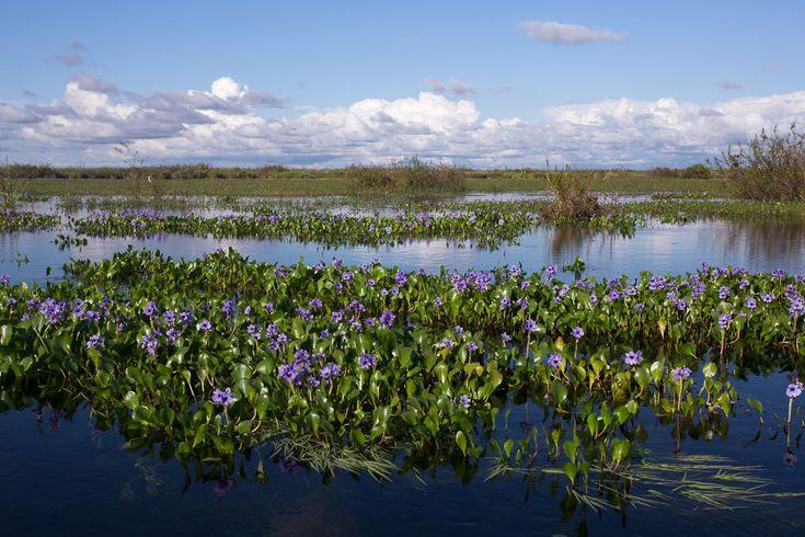 Water Hyacinths, Ibera marshes, Corrientes, Argentina.