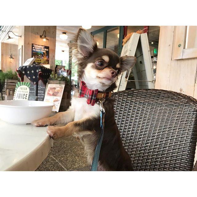 Don't get dehydrated 🌞 #チワワ #ロンチー #チョコタン #愛犬 #家族 #天使 #男の子 #親バカ部 #chihuahua #longcoat #chocolatetan #angel #family #boy #baby #puppy #newin #bowtie #red #check #cute #love #lunch #arkhills #cafe #summer #walking #japanese #tokyo #japan