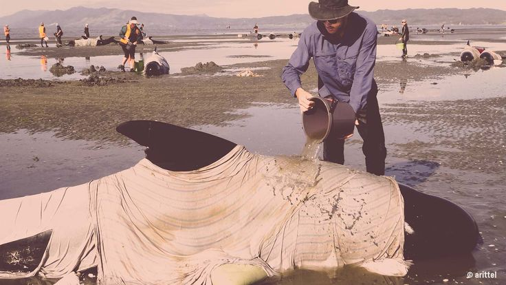 Recently hundreds of whales became stranded on a beach in New Zealand. Some were able to reach safety. Others sadly died when they couldn't get back into deeper water. But it raises the question why do some of the biggest, smartest creatures in the ocean always end up beached on the shore?