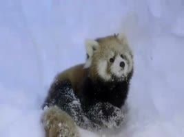 Baby red pandas playing in the snow. -- See the video: http://www.wimp.com/babypandas/
