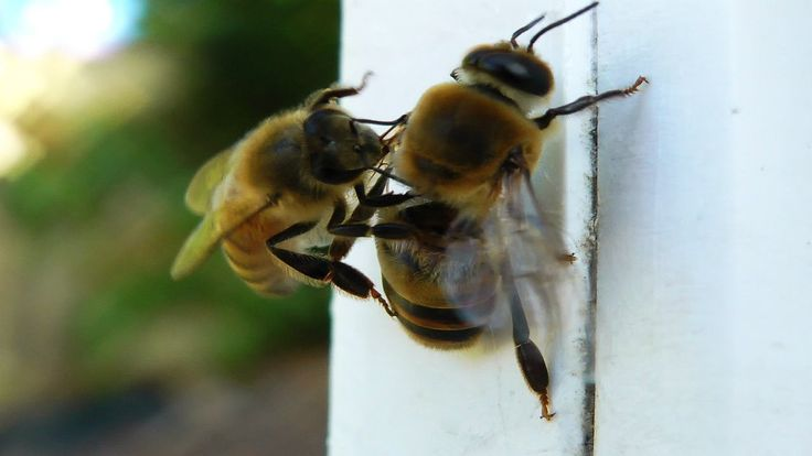 DRONE EVICTION – a male bee sentenced to death by drone eviction performed by his own sister, the worker bee. Unique bee behavior. See the worker bee chew on her brother's wings and evict him from the hive.   #bees #drone #nature #brutality #life