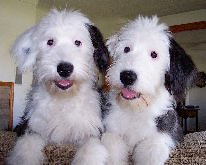 Two Gorgeous Old English Sheepdog Puppies