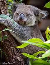 Daisy Hill Koala Centre FREE.  Open daily 10am-4pm.  Koala centre, picnic area, kangaroos, walks.