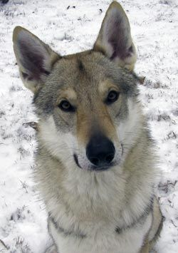 Czechoslovakian Vlcak - Google Search.... russian wolf & german shepherd.... actual breed registered
