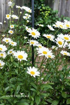 Must-Have Perennials: Shasta Daisy   Hardy Perennials   Hardy Plants   Garden Perennials   easy to grow plant suggestions from a DIY gardener. #Sponsored
