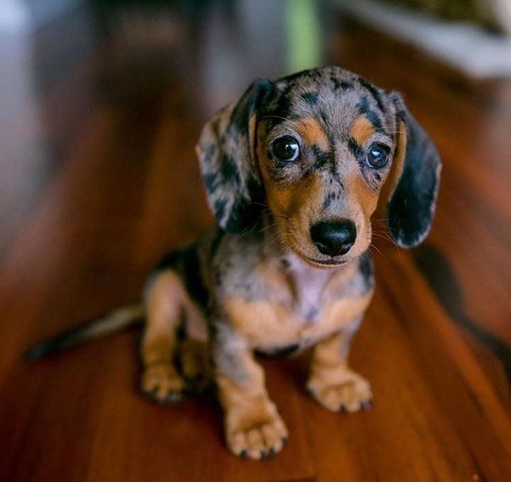 Training any dachshund involves quite a lot of patience, determination and…