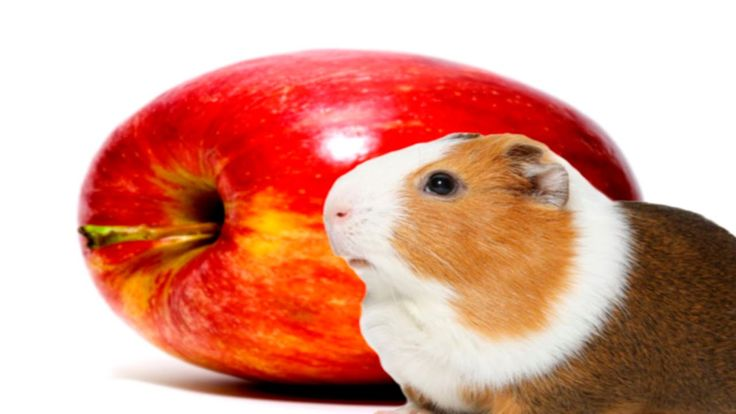 Guinea Pig eating apple pt 2