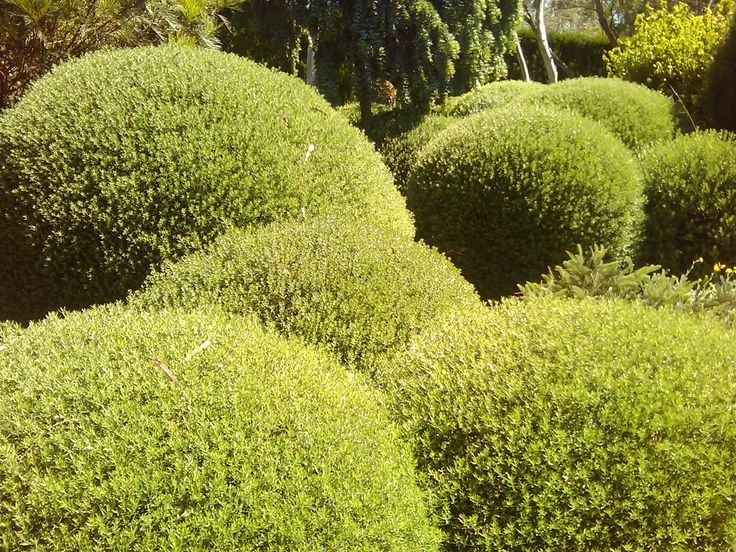 Topiary Gardening (Westringia fruiticosa), Mornington Peninsula, Australia