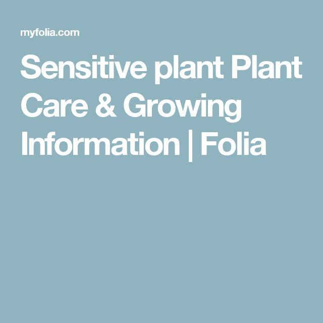 mimosa pudica care instructions