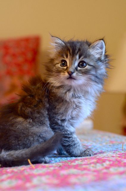 Ohhh, so fluffy and tiny and cute. Makes me miss having a cat :(