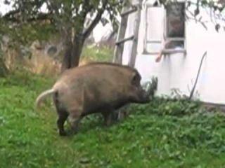 Сосед из леса - Дикий кабан Василий