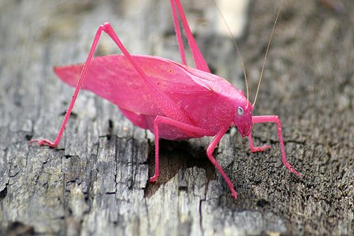 A katydid. Commonly green, its pink colour is the result of a genetic mutation known as erythrism, similar to the recessive genes that afflicts albino animals.