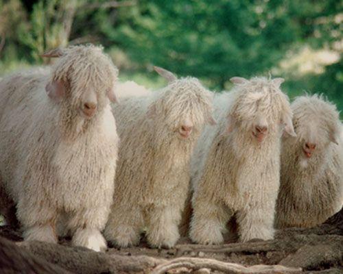 mohair_goats3.jpg (500×400) | Odd and Rare Animals ...