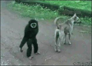 Scimmia che trolla immaginidivertenti.org