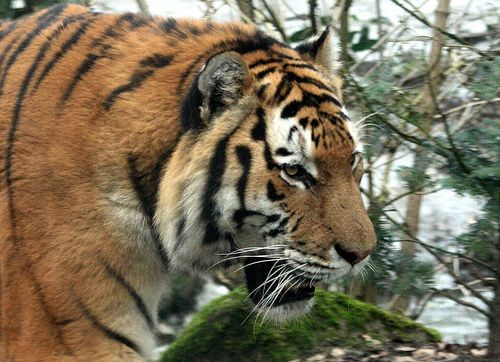 Save Endangered Siberian Tigers from Extinction. http://forcechange.com/92585/save-endangered-siberian-tigers-from-extinction/ #SeaShepherd #defendconserveprotect