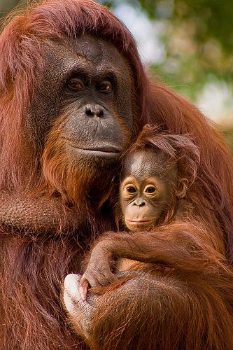 ourpreciousearth:    Approximately 50 percent of all orangutans have fractured bones, a result of falling off of trees on a regular basis.