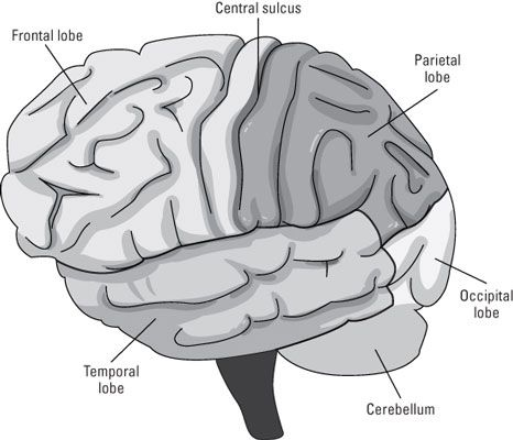 The neocortex.   Understanding the Role of the Neocortex