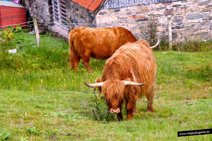 Vacas de las tierras altas de Escocia