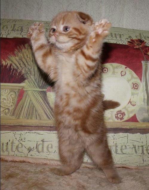 Scottish Fold kitten standing