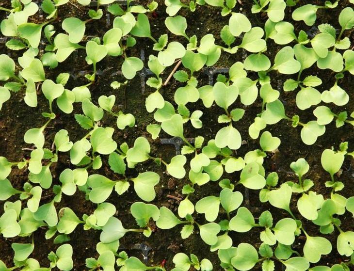 15 секретов выращивания хорошей рассады капусты