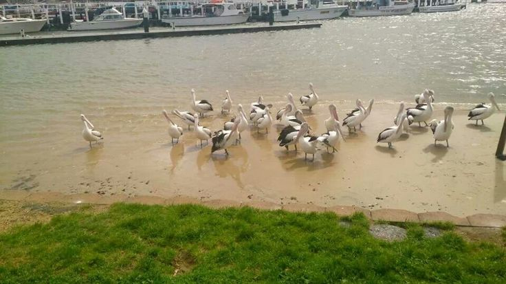 Pelican feeding at noon, san remo