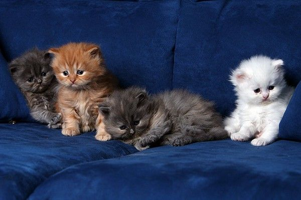 Kitten+Kitten+Kitten+Kitten=ADORABLE #wowAnimal Baby, Animal Photography, White Beds, Baby Kittens, Baby Animal, Persian Cat, Animal Photos, Fleas Control, Baby Cat