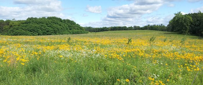 Prairie wildflowers at Kettle Moraine State Forest - Southern Unit.